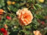 Kletterrose 'Skyline', Rosa 'Skyline', Wurzelware