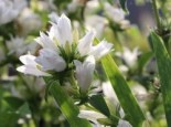 Knäuel-Glockenblume 'Bellefleur Weiss', Campanula glomerata 'Bellefleur Weiss', Topfware
