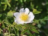 Kriechrose / Feldrose, 60-100 cm, Rosa arvensis, Wurzelware