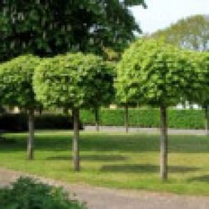 Kugelahorn / Kugelbaum 'Globosum', 125-150 cm, Acer platanoides 'Globosum', Containerware
