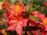 Laubabwerfende Azalee 'Juanita', 30-40 cm, Rhododendron luteum 'Juanita', Containerware