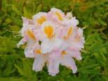 Laubabwerfende Azalee 'Möwe', 40-50 cm, Rhododendron luteum 'Möwe', Containerware