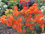 Laubabwerfende Azalee 'Orange Hit', 30-40 cm, Rhododendron luteum 'Orange Hit', Containerware