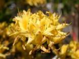 Laubabwerfende Azalee / Gelbe Azalee / Pontische Azalee, 30-40 cm, Rhododendron luteum / flavum / Azalea pontica, Containerware