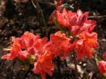 Laubabwerfende Azalee 'Sarina', 25-30 cm, Rhododendron luteum 'Sarina', Containerware