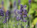 Lavendel 'Blue Scent', Lavandula angustifolia 'Blue Scent', Topfware