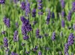 Lavendel 'Ellagance Purple', Lavandula angustifolia 'Ellagance Purple', Topfware
