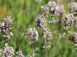 Lavendel 'Miss Katherine', Lavandula angustifolia 'Miss Katherine', Topfware
