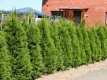 Lebensbaum 'Smaragd', 40-60 cm, Thuja occidentalis 'Smaragd', Containerware