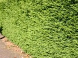 Leyland-Zypresse / Grüne Baumzypresse / Riesenzypresse, 60-80 cm, Cupressocyparis leylandii, Containerware