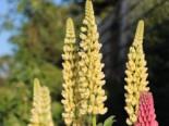 Lupine 'Kronleuchter', Lupinus polyphyllus 'Kronleuchter', Topfware
