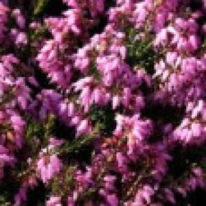 Märzenheide 'March Seedling', 10-15 cm, Erica carnea 'March Seedling', Topfware
