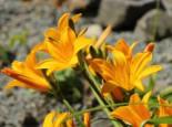 Middendorffs Taglilie, Hemerocallis middendorffii, Topfware
