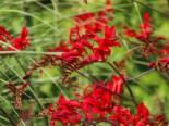 Montbretie 'Hellfire', Crocosmia x crocosmiiflora 'Hellfire', Topfware