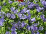 Niedliche Glockenblume 'Bavaria Blue', Campanula cochleariifolia 'Bavaria Blue', Topfware