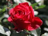 Nostalgie®-Edelrose 'Admiral' ®, Rosa 'Admiral' ®, Wurzelware
