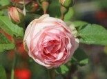 Nostalgie®-Edelrose 'Charming Piano' ®, Rosa 'Charming Piano' ®, Wurzelware