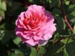 Nostalgie®-Edelrose 'Eisvogel' ®, Rosa 'Eisvogel' ®, Wurzelware