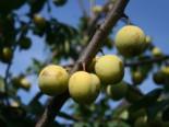 Pflaume 'Oullins Reneklode' / Eierpflaume, Stamm 40-60 cm, 120-160 cm, Prunus 'Oullins Reneklode' / Eierpflaume, Containerware