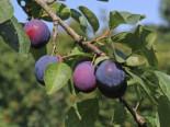 Pflaume 'The Czar', Stamm 40-60 cm, 120-160 cm, Prunus 'The Czar', Containerware