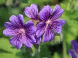 Prächtiger Storchschnabel 'Rosemoor', Geranium x magnificum 'Rosemoor', Topfware
