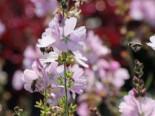 Präriemalve 'Elsie Heugh', Sidalcea malviflora 'Elsie Heugh', Topfware