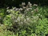 Purpur-Wiesen-Kerbel 'Ravenswing', Anthriscus sylvestris 'Ravenswing', Topfware