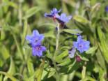 Purpurblauer Steinsame, Buglossoides purpurocaerulea, Topfware