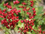 Purpurglöckchen 'Ruby Bells', Heuchera sanguinea 'Ruby Bells', Topfware
