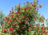 Ramblerrose 'Chevy Chase', Rosa 'Chevy Chase', Wurzelware