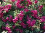 Ramblerrose 'Super Excelsa', Rosa 'Super Excelsa' ADR-Rose, Wurzelware