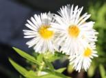 Raublatt-Aster 'Herbstschnee', Aster novae-angliae 'Herbstschnee', Topfware