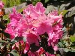 Rhododendron 'August Lamken', 80-90 cm, Rhododendron williamsianum 'August Lamken', Containerware