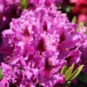 Rhododendron 'Azurro', 40-50 cm, Rhododendron Hybride 'Azurro', Containerware