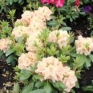 Rhododendron 'Belkanto' (S), 30-40 cm, Rhododendron Hybride 'Belkanto' (S), Containerware