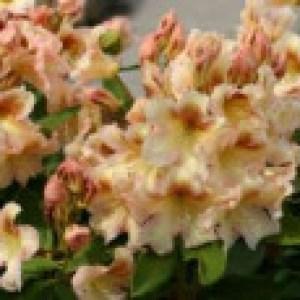 Rhododendron 'Bernstein', 30-40 cm, Rhododendron Hybride 'Bernstein', Containerware
