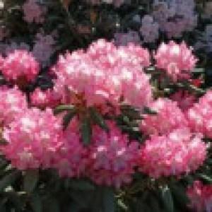 Rhododendron 'Emanuela', 25-30 cm, Rhododendron yakushimanum 'Emanuela', Containerware