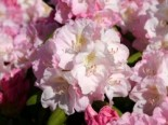 Rhododendron 'Ken Janeck', 25-30 cm, Rhododendron yakushimanum 'Ken Janeck', Containerware