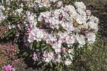 Rhododendron 'Mist Maiden', 25-30 cm, Rhododendron yakushimanum 'Mist Maiden', Containerware