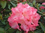 Rhododendron 'Sonatine', 30-40 cm, Rhododendron yakushimanum 'Sonatine', Containerware