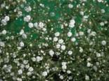 Rispiges Schleierkraut 'Bristol Fairy', Gypsophila paniculata 'Bristol Fairy', Topfware