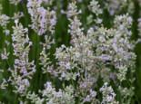 Rosablühender Lavendel 'Hidcote Pink', Lavandula angustifolia 'Hidcote Pink', Topfware