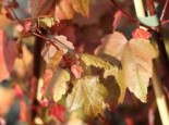 Rotahorn 'Summer Red', 100-125 cm, Acer rubrum 'Summer Red', Containerware