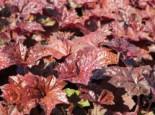 Rotblättriges Silberglöckchen 'Palace Purple', Heuchera micrantha 'Palace Purple', Topfware