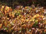 Rote Elfenblume, Epimedium x rubrum, Topfware