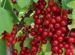 Rote Johannisbeere 'Rolan', 30-40 cm, Ribes rubrum 'Rolan', Containerware
