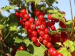 Rote Johannisbeere 'Rotet', Stamm 80-90 cm, 120-140 cm, Ribes rubrum 'Rotet', Stämmchen