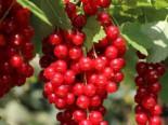 Rote Johannisbeere 'Stanza', Stamm 50 cm, 80-90 cm, Ribes rubrum 'Stanza', Stämmchen