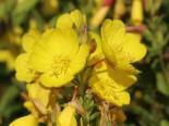 Rotstängelige Nachtkerze, Oenothera tetragona, Topfware
