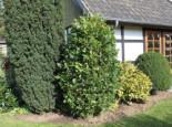 Säuleneiche 'Fastigiata', 80-100 cm, Quercus robur 'Fastigiata', Containerware